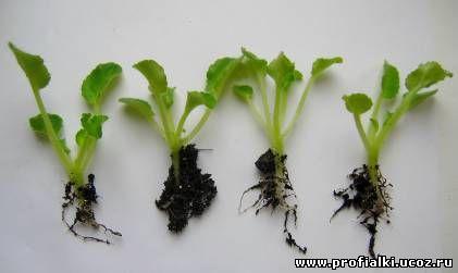 размножение сенполий